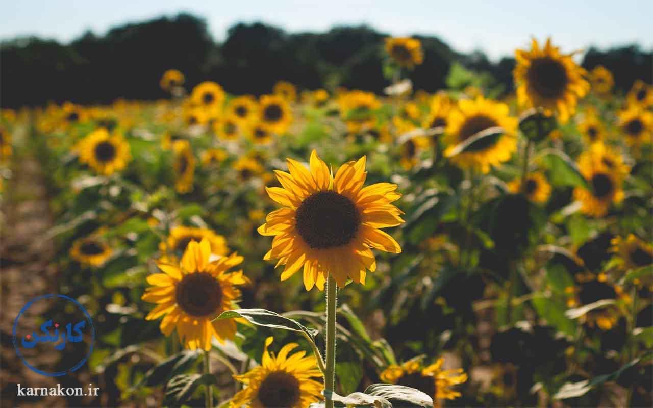 کارآفرینی با سرمایه کم در کشاورزی از طریق پرورش گل آفتاب گردان