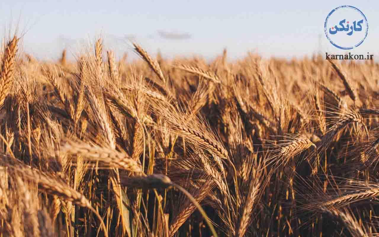 کارآفرینی با سرمایه کم در کشاورزی با پرورش گندم