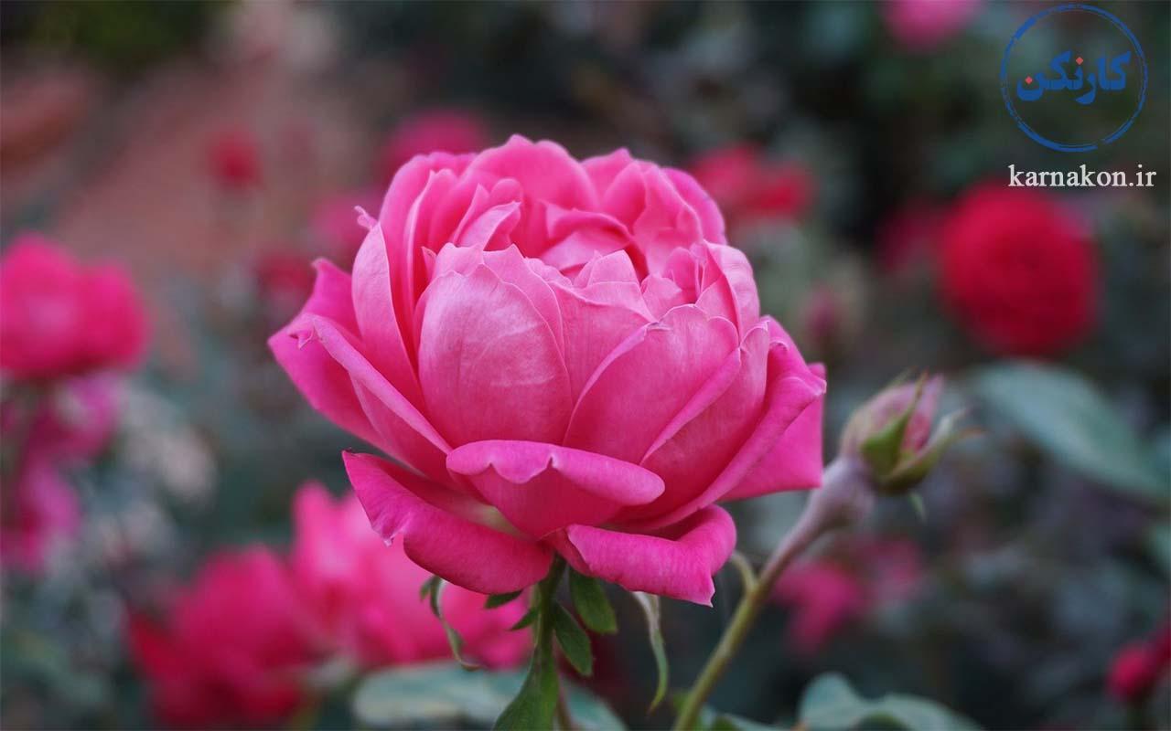 پرورش گل محمدی