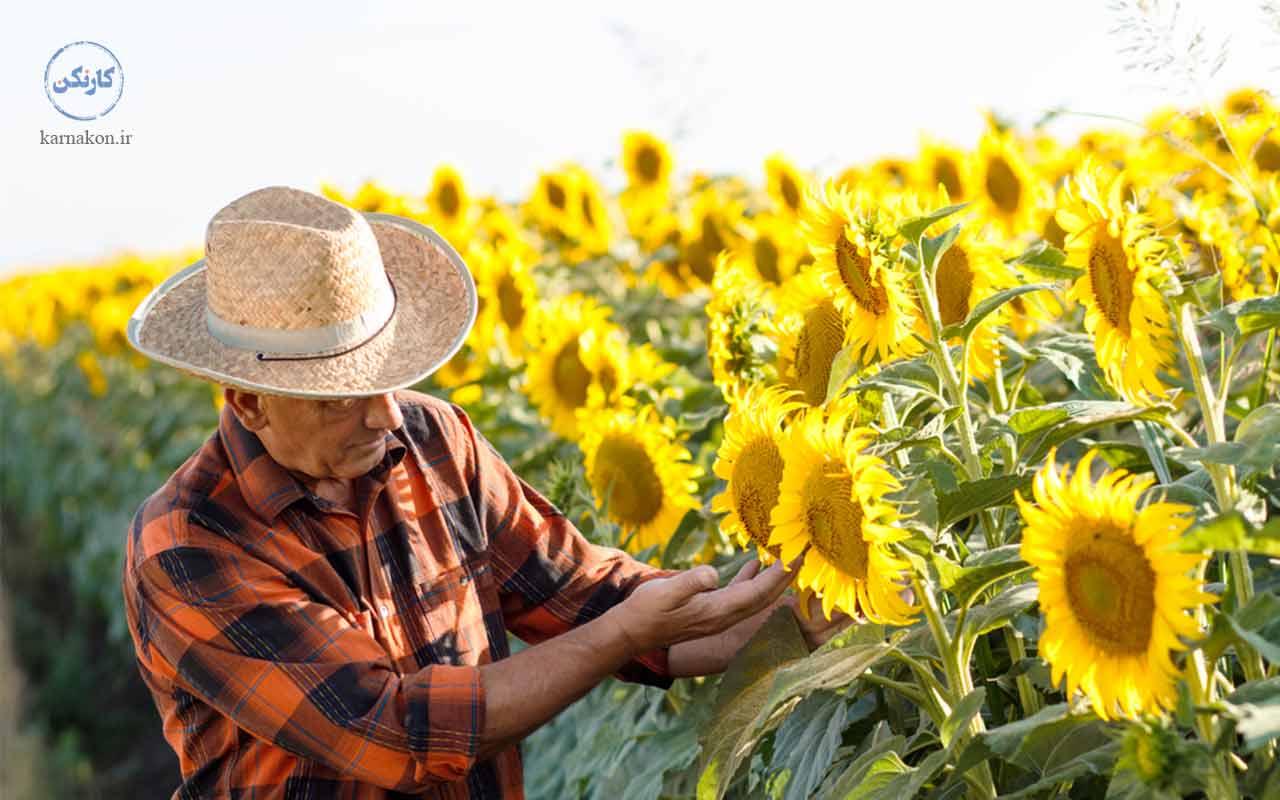 پرورش گل آفتابگردان در لیست پرسودترین محصول کشاورزی در ایران